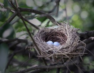 nest-eggs-bird-lg